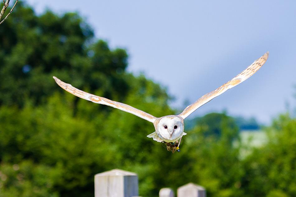IMAGE: http://1stdesignit.co.uk/potn/Barn%20Owl%20flying-5827.jpg